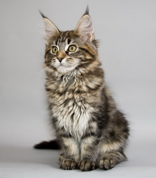 gallery/maine_coon94s
